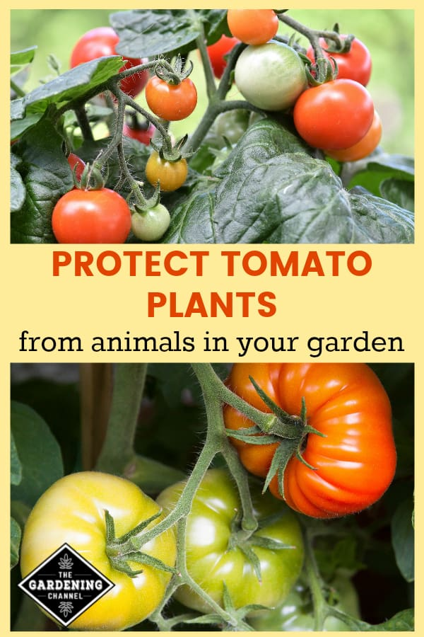 tomatoes growing in garden with text overlay protect tomato plants from animals in your garden