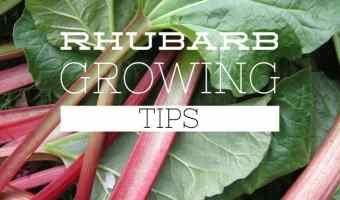 Rhubarb for the Home Garden
