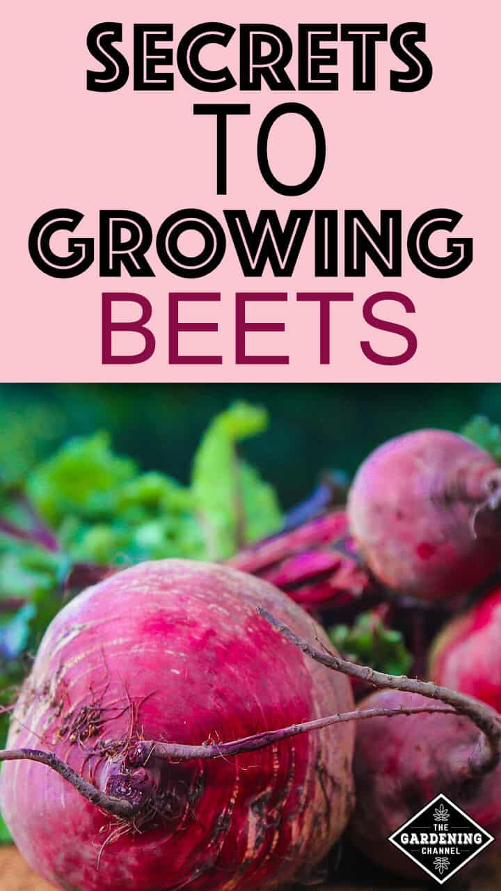 How to Grow Beets Gardening Channel