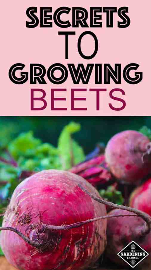 How to grow beets in your photo