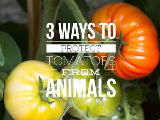Protecting Tomato Plants from Animals