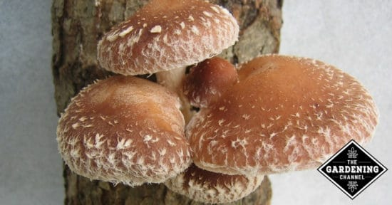 Grow Your Own Shiitakes Mushrooms at Home