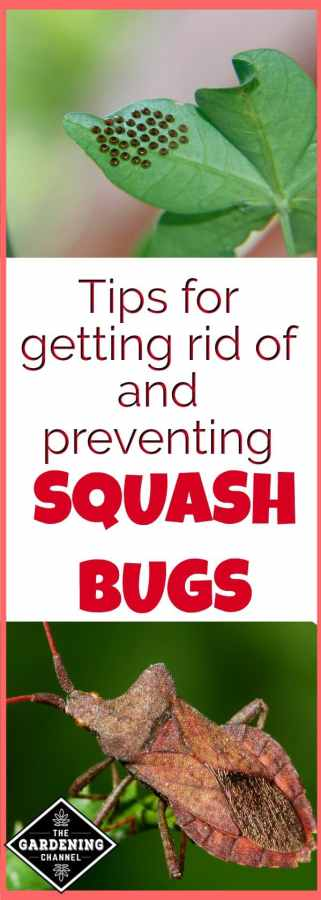 keep squash bugs out of the garden