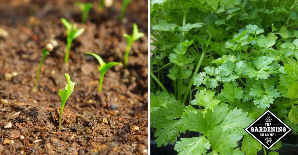 how to grow cilantro in a container