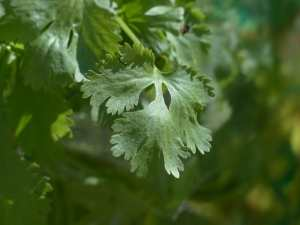 grow cilantro in garden