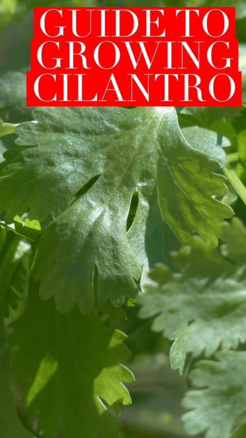 Learn how to grow cilantro in your herb garden this year at Gardeningchannel.com