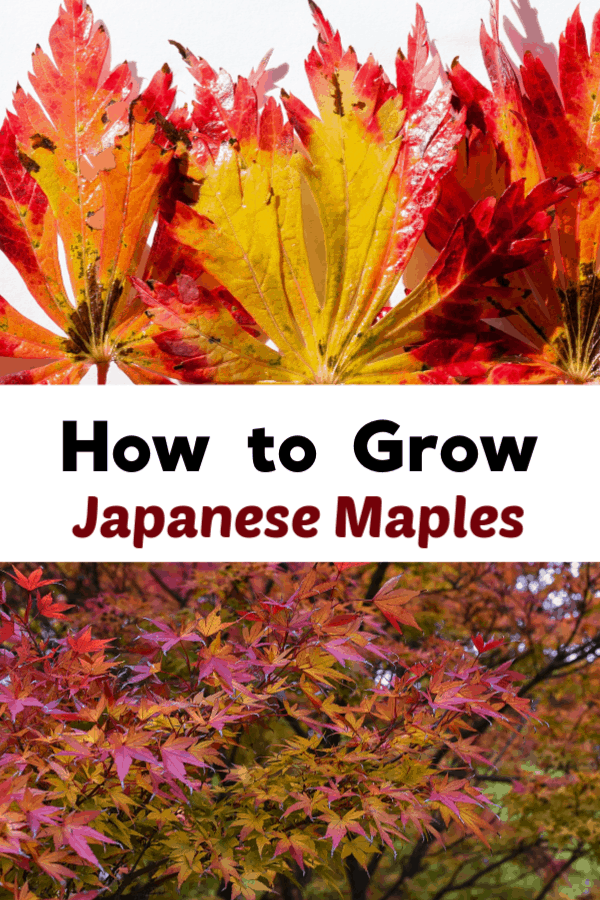 japanese maple leaves tree with text overlay how to grow japanese maples