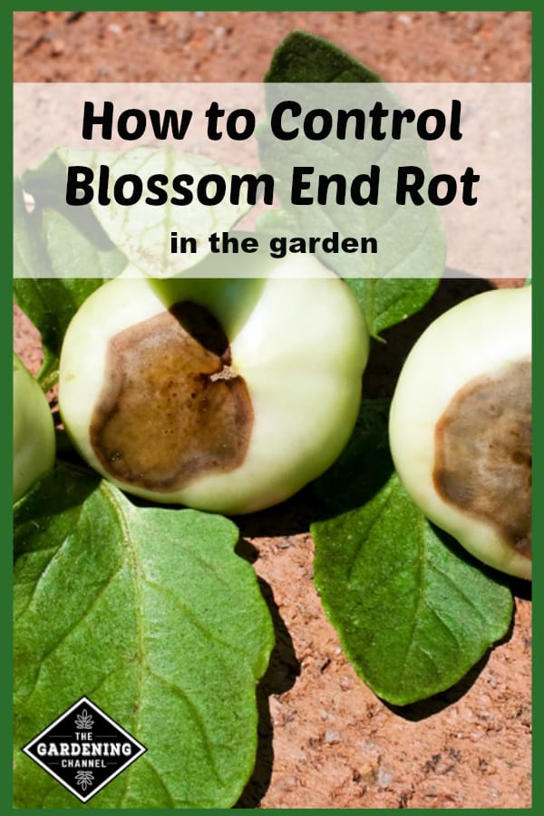 tomatoes with blossom end rot with text overlay how to control blossom end rot in the garden