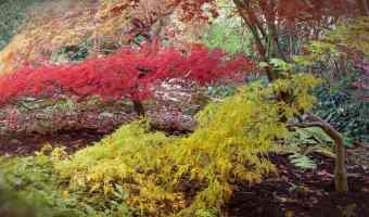 japanese maple tree