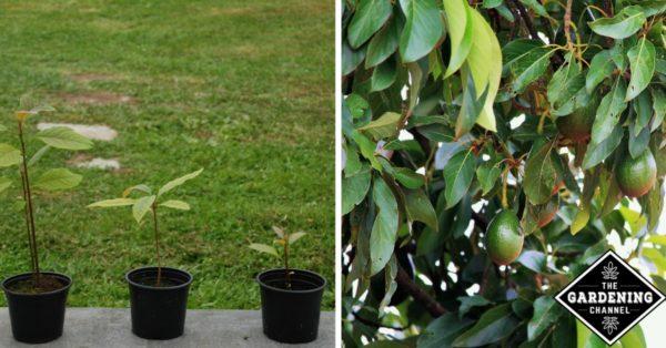 How To Grow An Avocado Tree Gardening Channel