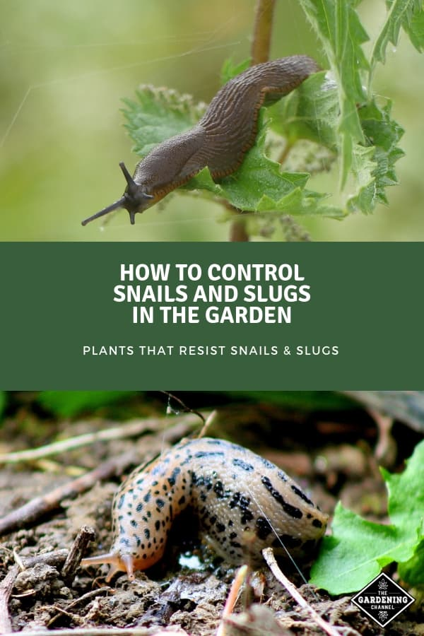 slug on leaf and slug in garden with text overlay how to control snails and slugs in the garden plants that resist snails and slugs