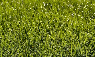 Growing Bermuda Grass for Lawns