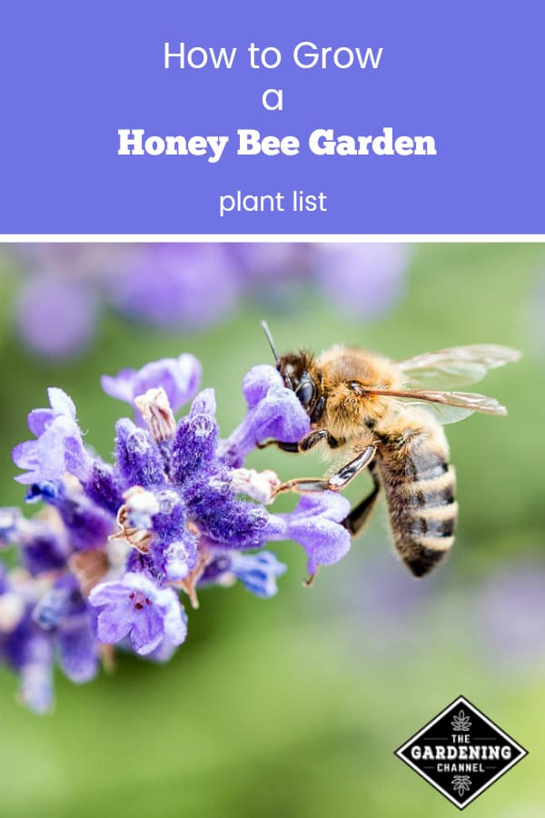 honey bee on lavender with text overlay how to grow a honey bee garden plant list