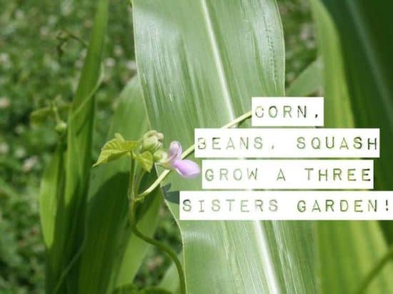three sisters garden corn beans squash how to