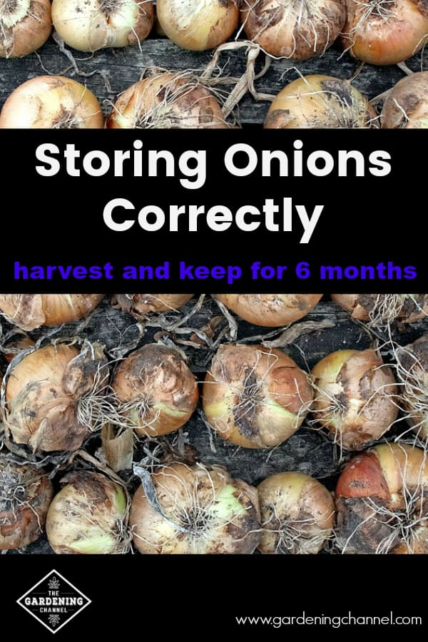 onions drying with text overlay storing onions correctly harvest and keep for 6 months