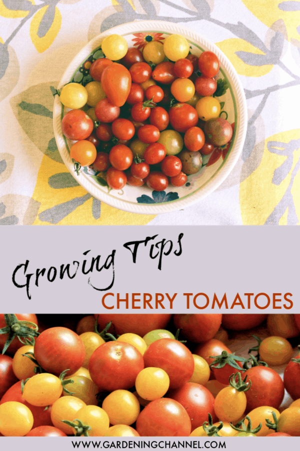 harvested cherry tomatoes in bowl and harvested cherry tomatoes with text overlay growing tips cherry tomatoes
