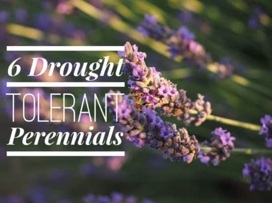 6 Perennials for Dry Growing Conditions
