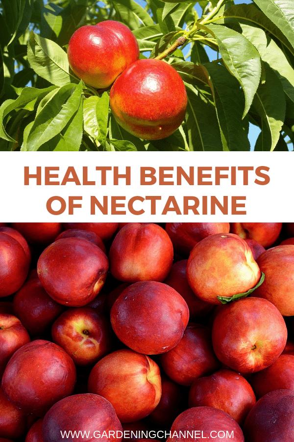 nectarine tree and harvest nectarines with text overlay health benefits of nectarines