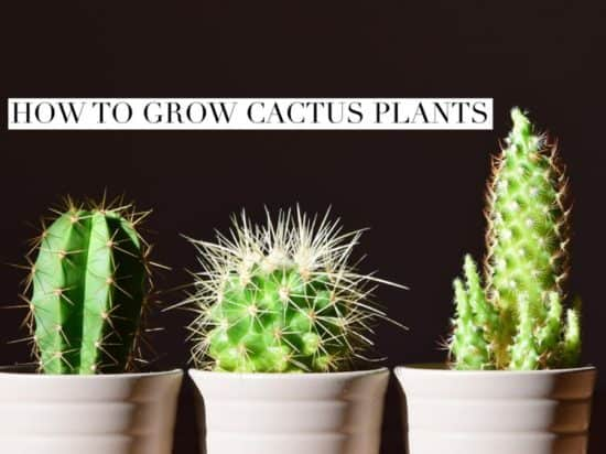 Growing Cactus Plants in Container and Yards