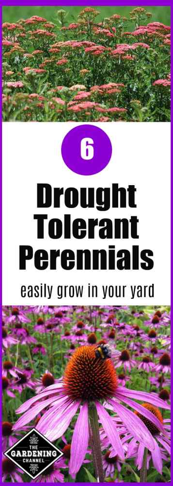 two drought tolerant perennials yarrow and coneflower with text overlay about six drought tolerant perennials for your yard