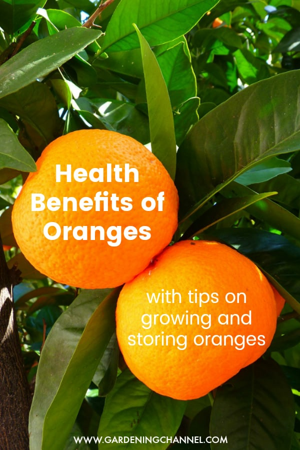 orange tree with text overlay health benefits of oranges with tips on growing and storing oranges