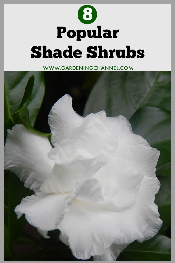 gardenia in shade with text overlay eight popular shade shrubs