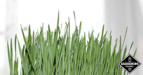 Wheatgrass Nurtrition and Health Benefits