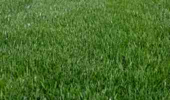 How to Weed the Organic Lawn
