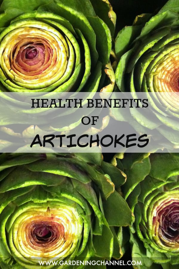 artichokes with text overlay health benefits of artichokes