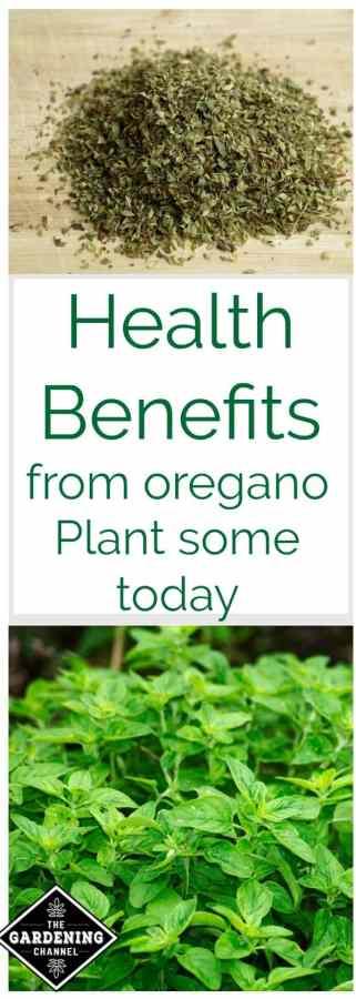 Health Benefits Of Oregano Gardening Channel