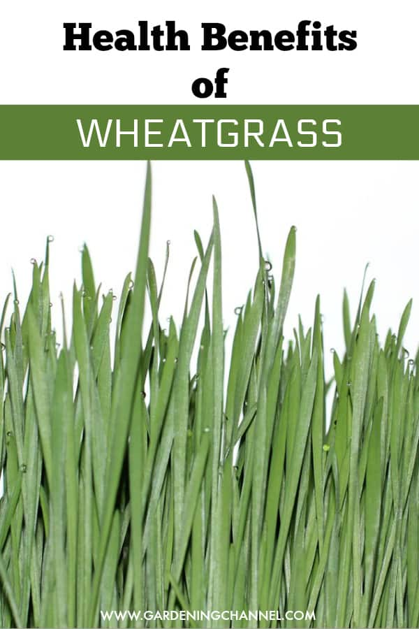 wheatgrass with text overlay health benefits of wheatgrass