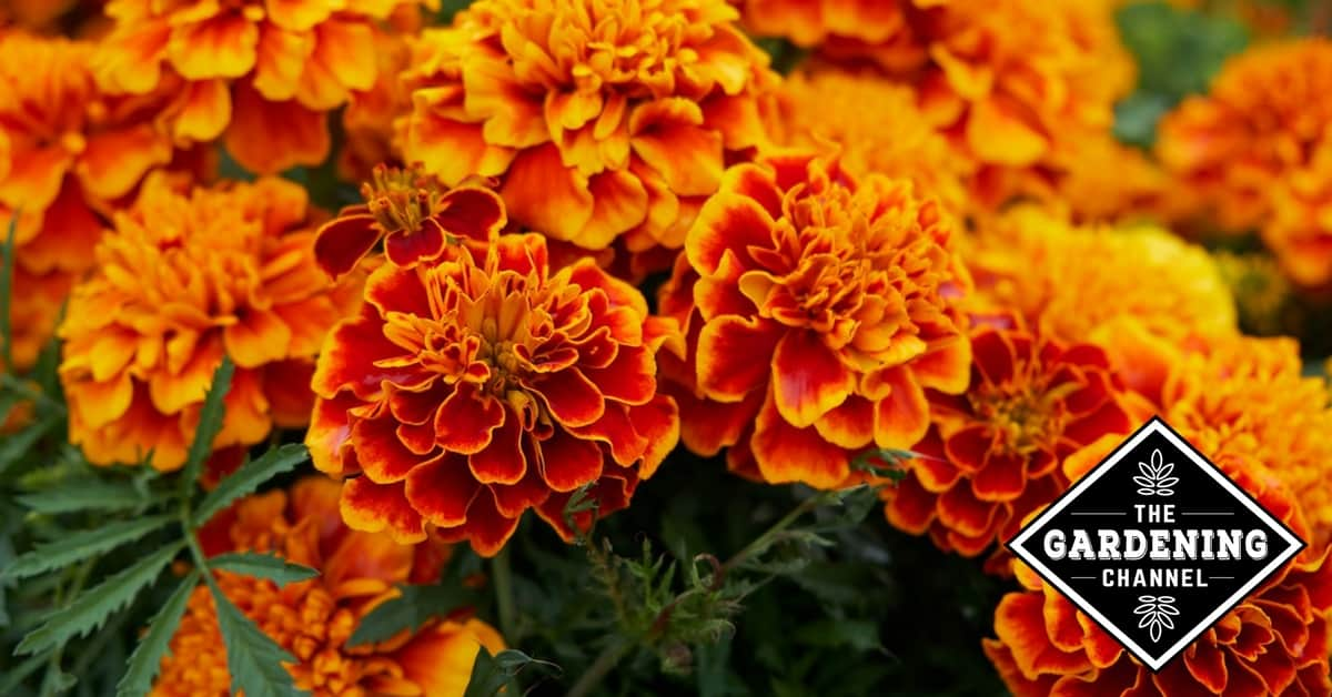 Do marigolds come back every year