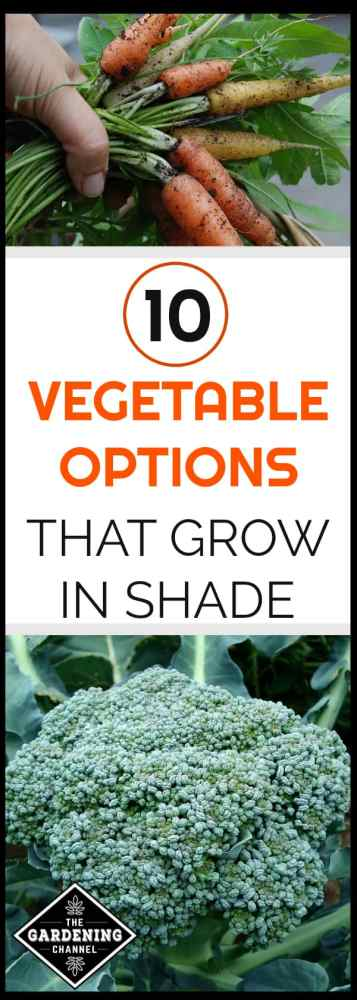 carrot garden harvest and broccoli growing in garden with text overlay 10 vegetable options that grow in the shade