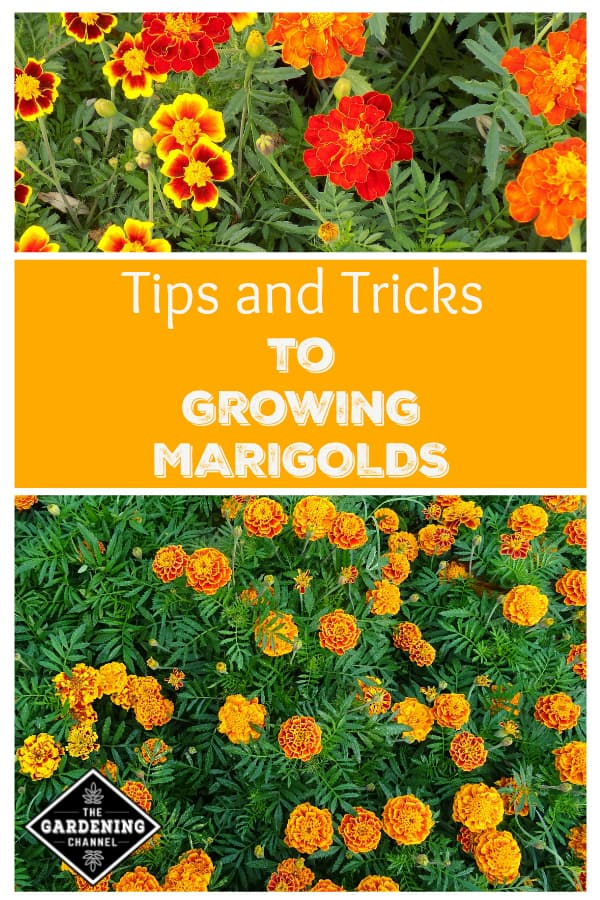 close up marigolds and close up orange marigold flowers with text overlay tips and tricks to growing marigolds