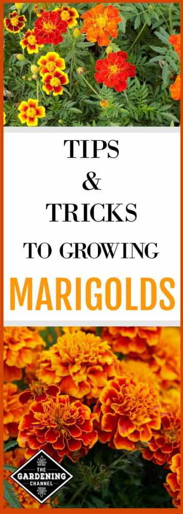 marigolds growing in flower garden with text about growing marigolds