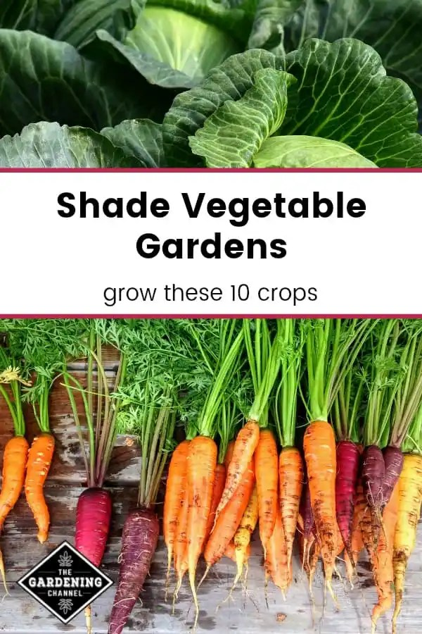 harvested cabbage and rainbow carrots with text overlay shade vegetable gardens grow these ten crops