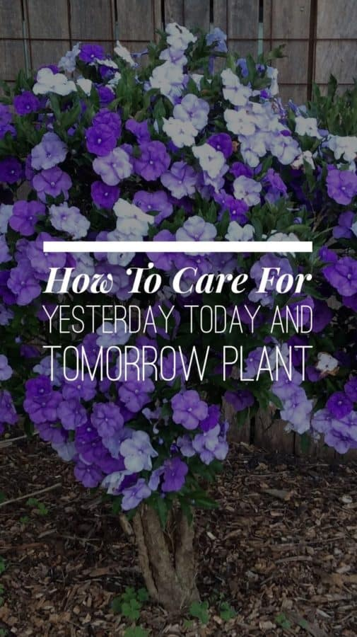 Yesterday Today and Tomorrow Plant