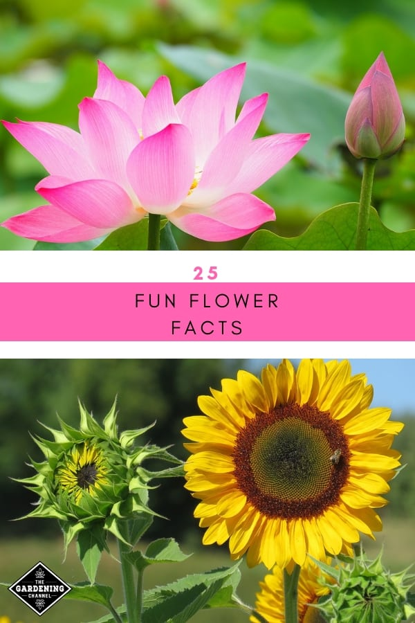 lotus and sunflower with text overlay twenty five fun flower facts