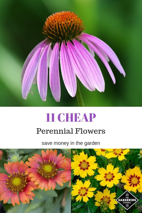 coneflower blanket flower coreopsis with text overlay eleven cheap perennial flowers