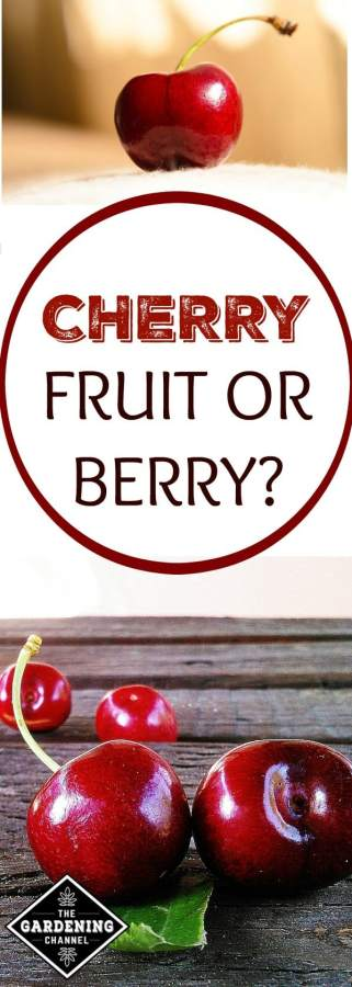 Cherry fruit or berry