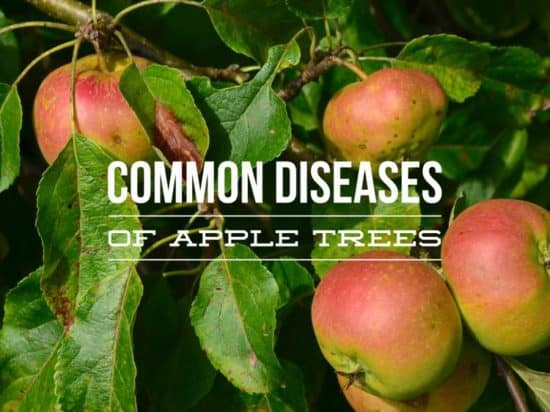 Growing Apple Trees: Common Diseases