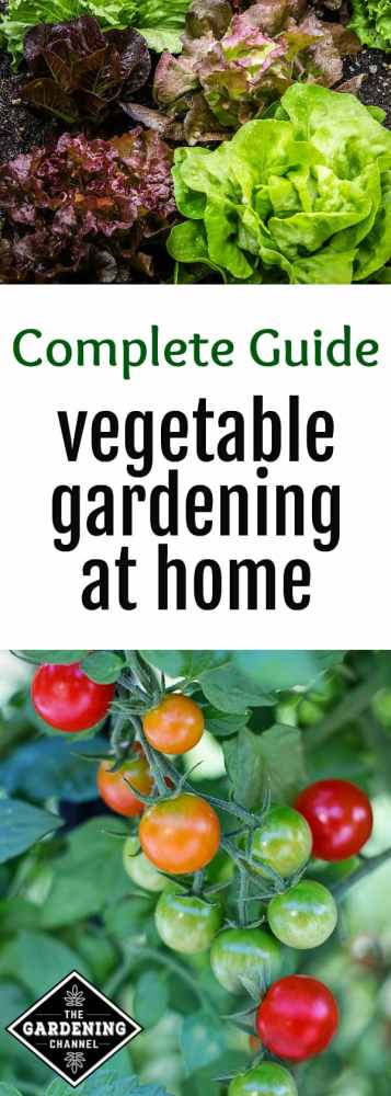 lettuce garden cherry tomatoes growing in garden with text overlay complete guide vegetable gardening at home