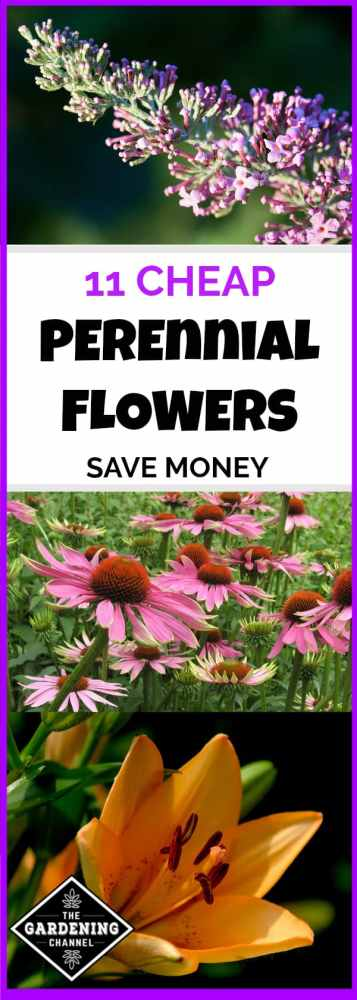 butterfly bush daylily coneflower in garden with text overlay eleven cheap perennial flowers save money