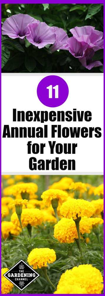 close up morning glory and yellow marigolds with text overlay 11 inexpensive annual flowers for your garden