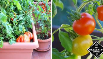 How to Grow Patio Tomatoes - Gardening Channel