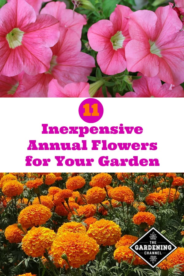 petunias and marigolds with text overlay 11 inexpensive annual flowers for your garden