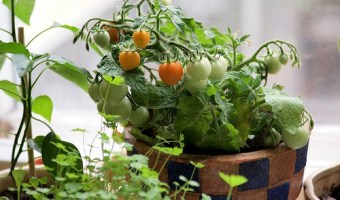 Best Patio Tomato Varieties