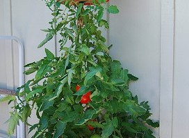 Growing Tomatoes Upside Down
