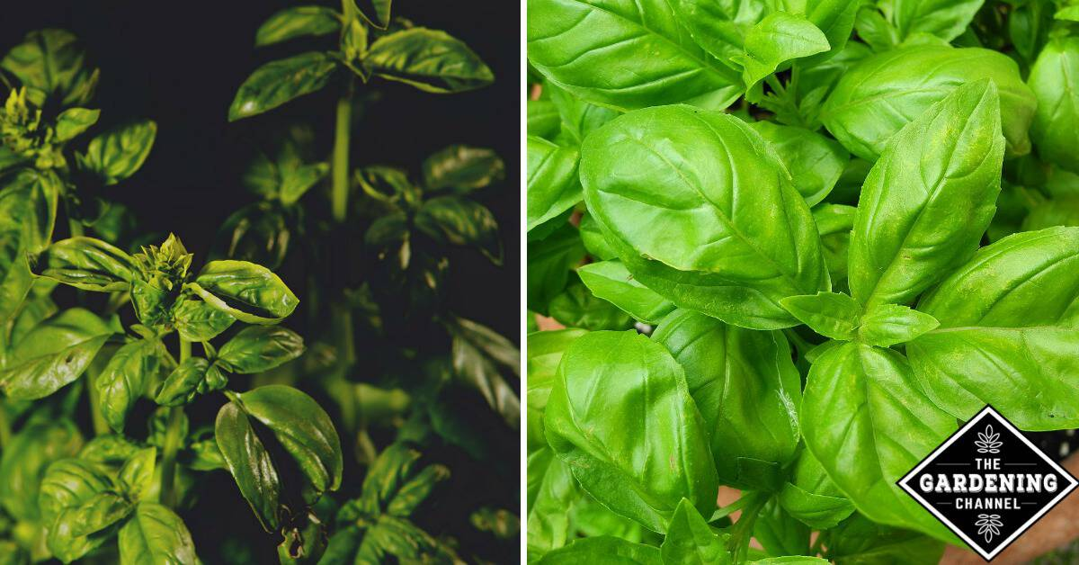 How to treat and prevent black spots on basil