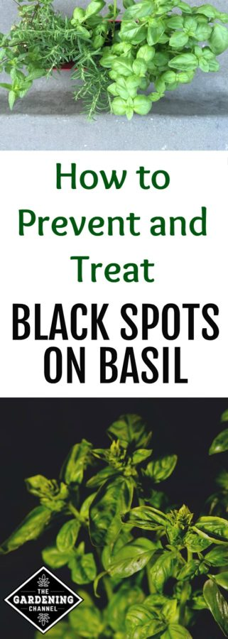 black spots on basil